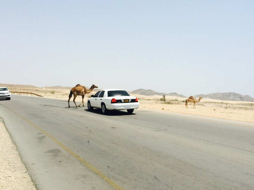 A camel crossing the street on the road to Salalah.
